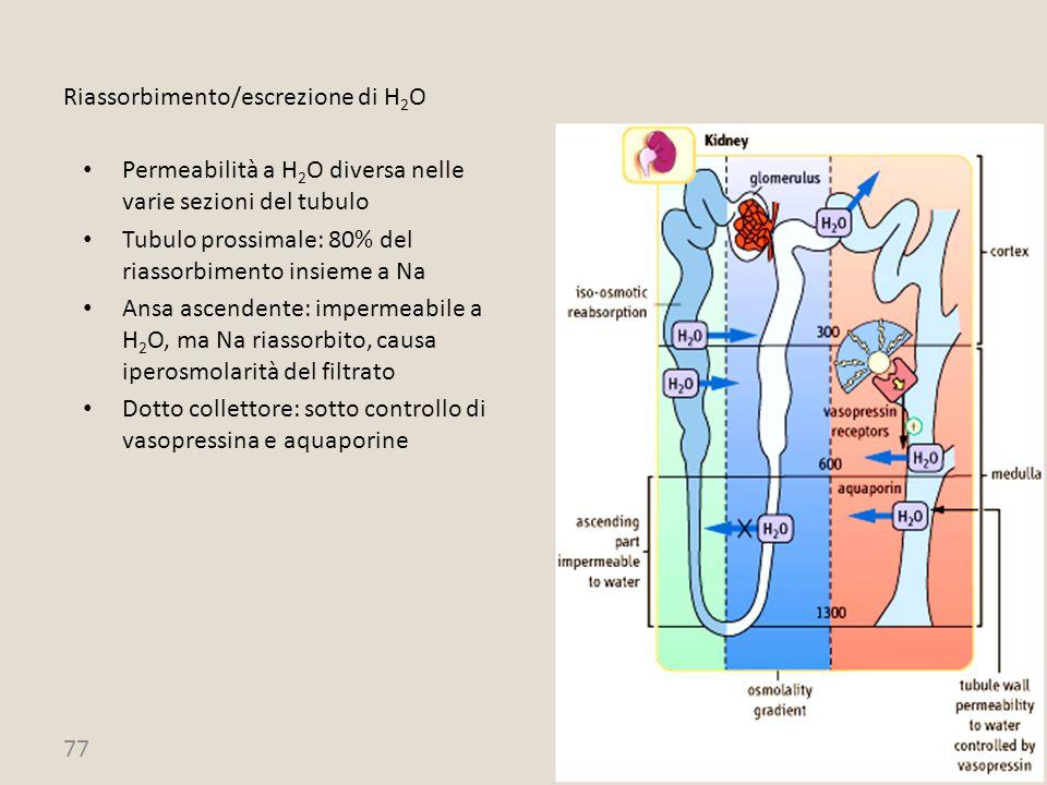 77 Riassorbimento/escrezione di H 2 O Permeabilità a H 2 O diversa nelle varie sezioni del tubulo Tubulo prossimale: 80% del riassorbimento insieme a