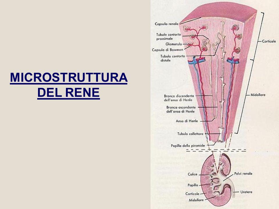 69 Scambio controcorrente: Osmolarità nella corteccia pari a quella del plasma, alta nella midollare