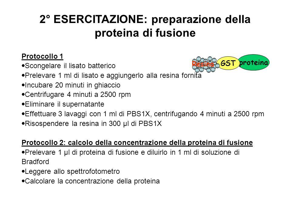 3° ESERCITAZIONE: controllo della proteina di fusione su gel Protocollo  Prelevare 2 μg di proteina  Risospendere in Buffer di caricamento (3X)  Caricare su gel di poliacrilammide 170 130 95 72 55 43 34 26 KDa 1465 9 13191222233817 Gruppi 15201816214102111MM PTP GST