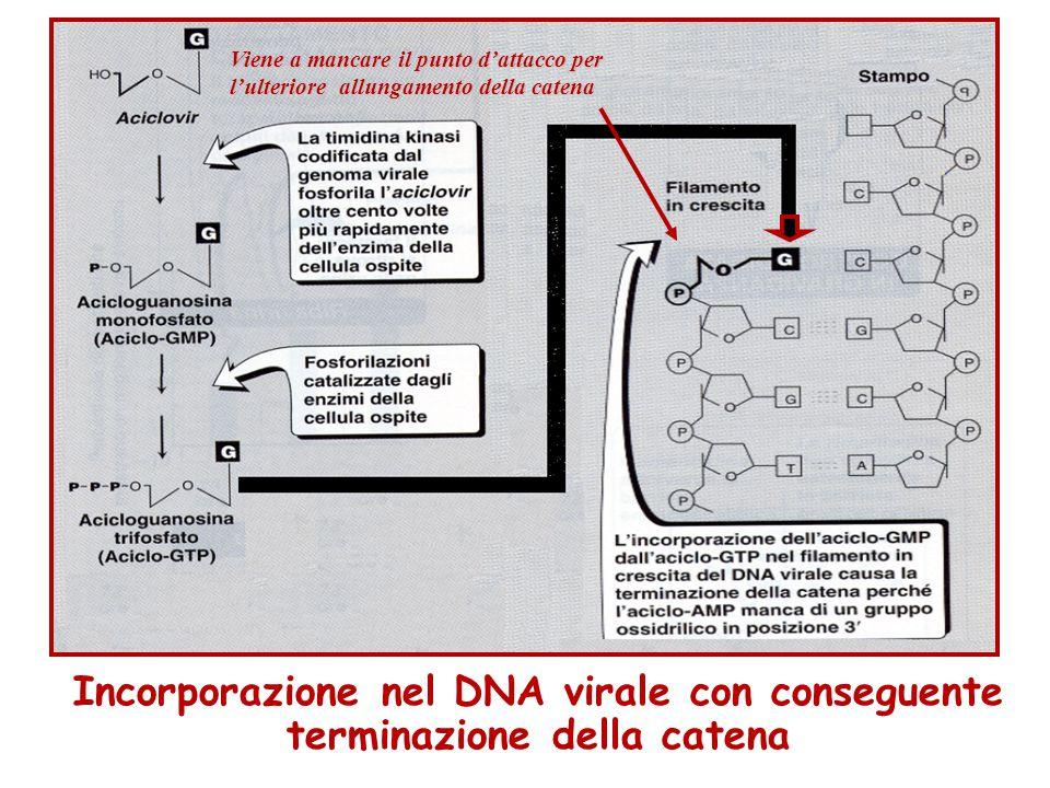 Incorporazione nel DNA virale con conseguente terminazione della catena Viene a mancare il punto d'attacco per l'ulteriore allungamento della catena