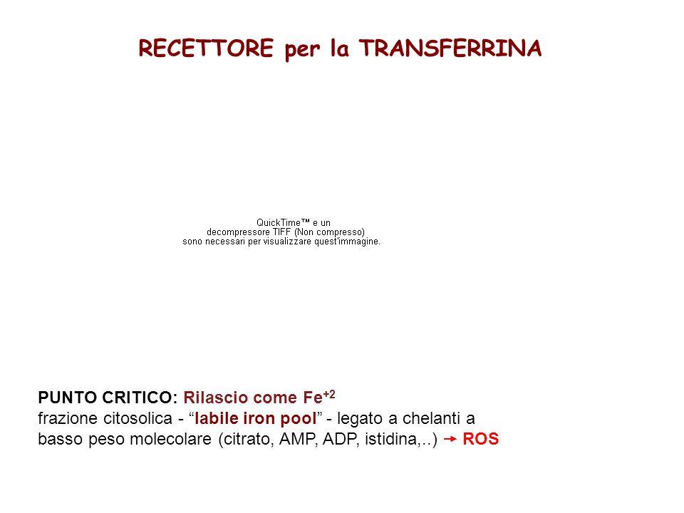 RECETTORE per la TRANSFERRINA PUNTO CRITICO: Rilascio come Fe +2 frazione citosolica - labile iron pool - legato a chelanti a basso peso molecolare (citrato, AMP, ADP, istidina,..)  ROS