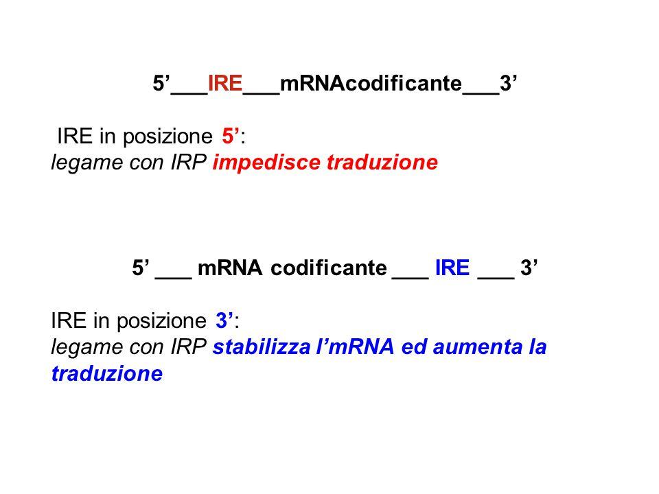 5'___IRE___mRNAcodificante___3' IRE in posizione 5': legame con IRP impedisce traduzione 5' ___ mRNA codificante ___ IRE ___ 3' IRE in posizione 3': legame con IRP stabilizza l'mRNA ed aumenta la traduzione