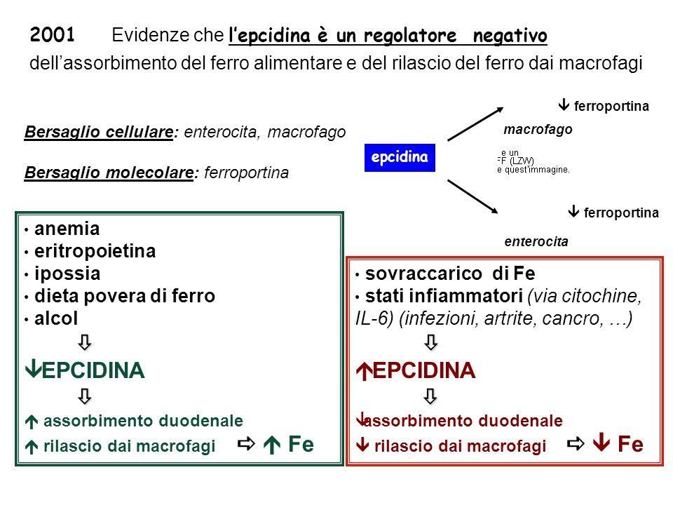 2001 Evidenze che l'epcidina è un regolatore negativo dell'assorbimento del ferro alimentare e del rilascio del ferro dai macrofagi anemia eritropoietina ipossia dieta povera di ferro alcol   EPCIDINA   assorbimento duodenale  rilascio dai macrofagi   Fe sovraccarico di Fe stati infiammatori (via citochine, IL-6) (infezioni, artrite, cancro, …)  EPCIDINA   assorbimento duodenale  rilascio dai macrofagi   Fe Bersaglio cellulare: enterocita, macrofago Bersaglio molecolare: ferroportina macrofago enterocita epcidina  ferroportina