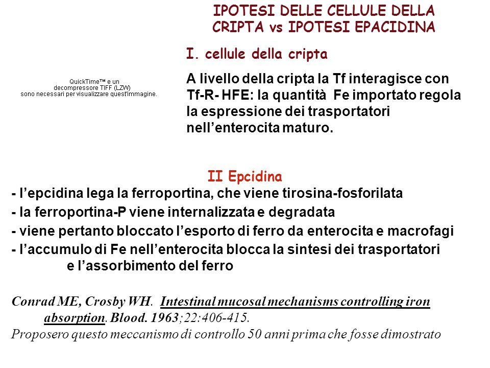IPOTESI DELLE CELLULE DELLA CRIPTA vs IPOTESI EPACIDINA I. cellule della cripta A livello della cripta la Tf interagisce con Tf-R- HFE: la quantità Fe