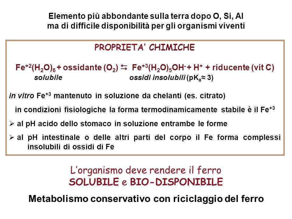 PROPRIETA' CHIMICHE Fe +2 (H 2 O) 6 + ossidante (O 2 )  Fe +3 (H 2 O) 5 OH - + H + + riducente (vit C) solubile ossidi insolubili (pK a ≈ 3) in vitro Fe +3 mantenuto in soluzione da chelanti (es.