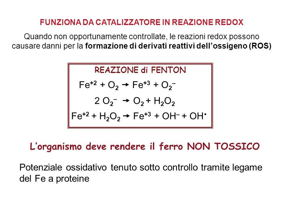 FUNZIONA DA CATALIZZATORE IN REAZIONE REDOX Quando non opportunamente controllate, le reazioni redox possono causare danni per la formazione di derivati reattivi dell'ossigeno (ROS) REAZIONE di FENTON Fe +2 + O 2  Fe +3 + O 2 – 2 O 2 –  O 2 + H 2 O 2 Fe +2 + H 2 O 2  Fe +3 + OH – + OH  L'organismo deve rendere il ferro NON TOSSICO Potenziale ossidativo tenuto sotto controllo tramite legame del Fe a proteine