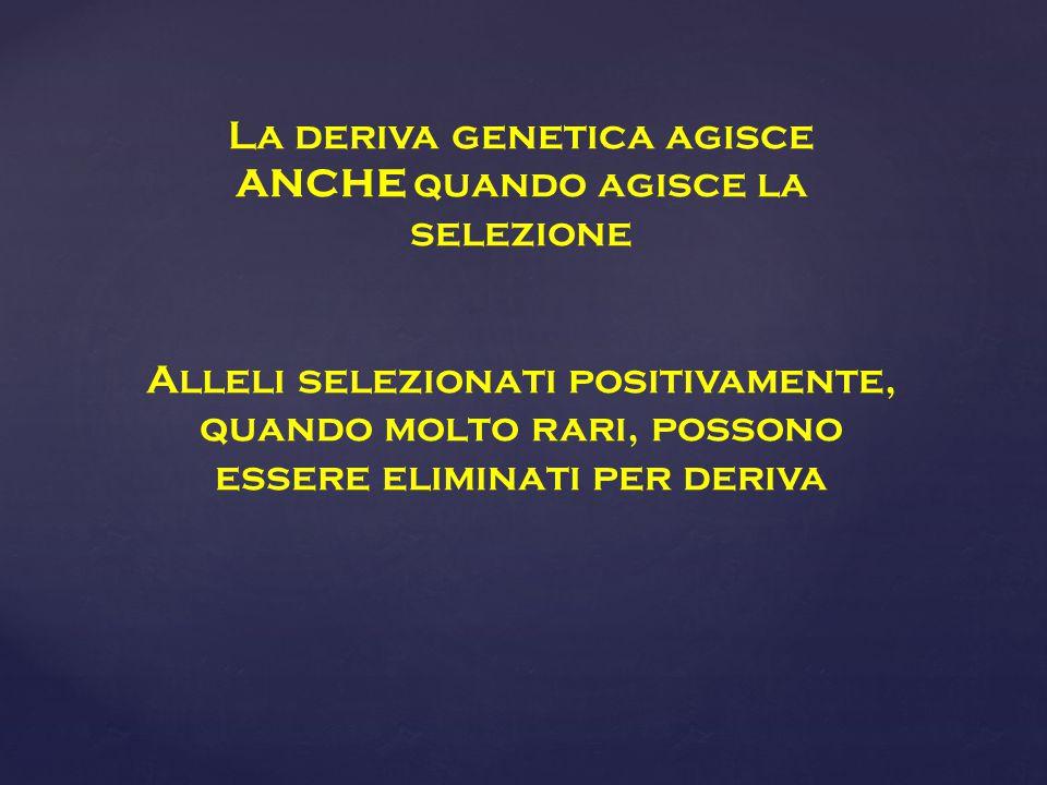 La deriva genetica agisce ANCHE quando agisce la selezione Alleli selezionati positivamente, quando molto rari, possono essere eliminati per deriva