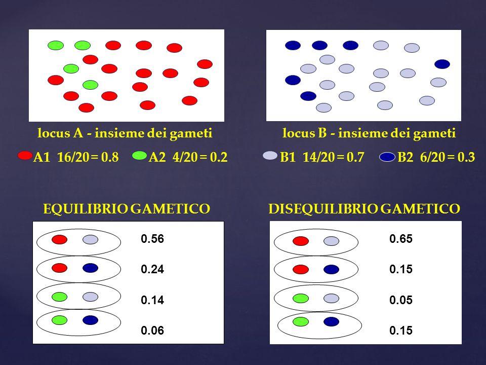 locus A - insieme dei gameti A1 16/20 = 0.8 A2 4/20 = 0.2 locus B - insieme dei gameti B1 14/20 = 0.7 B2 6/20 = 0.3 EQUILIBRIO GAMETICO 0.56 0.24 0.14 0.06 DISEQUILIBRIO GAMETICO 0.65 0.15 0.05 0.15