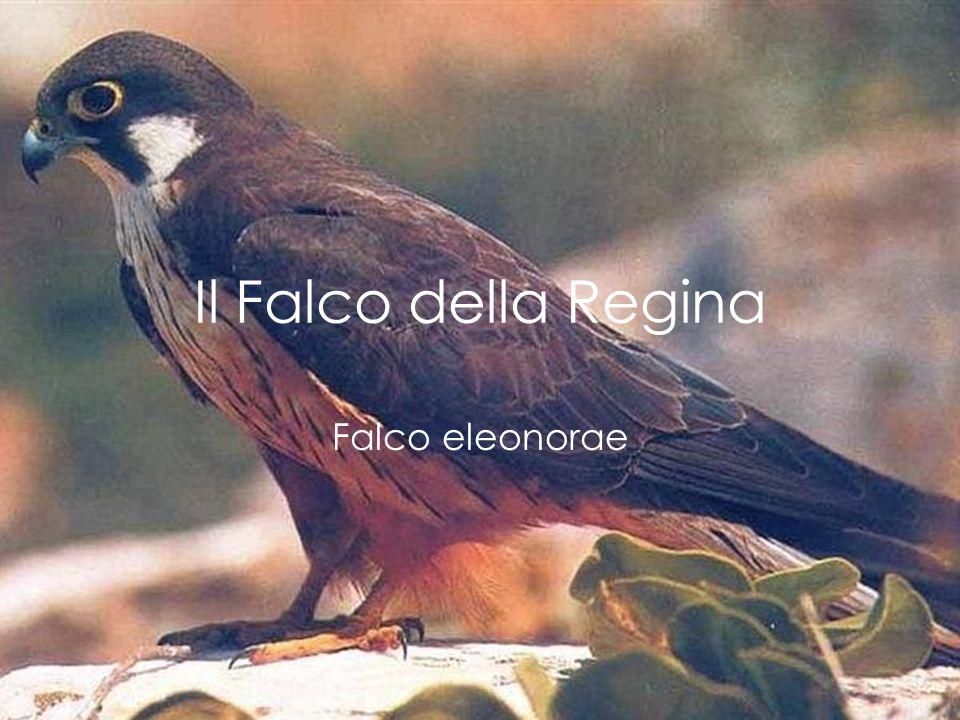 Il Falco della Regina Falco eleonorae
