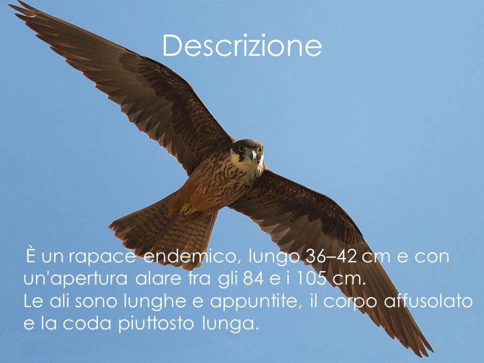 Descrizione È un rapace endemico, lungo 36–42 cm e con un'apertura alare tra gli 84 e i 105 cm. Le ali sono lunghe e appuntite, il corpo affusolato e