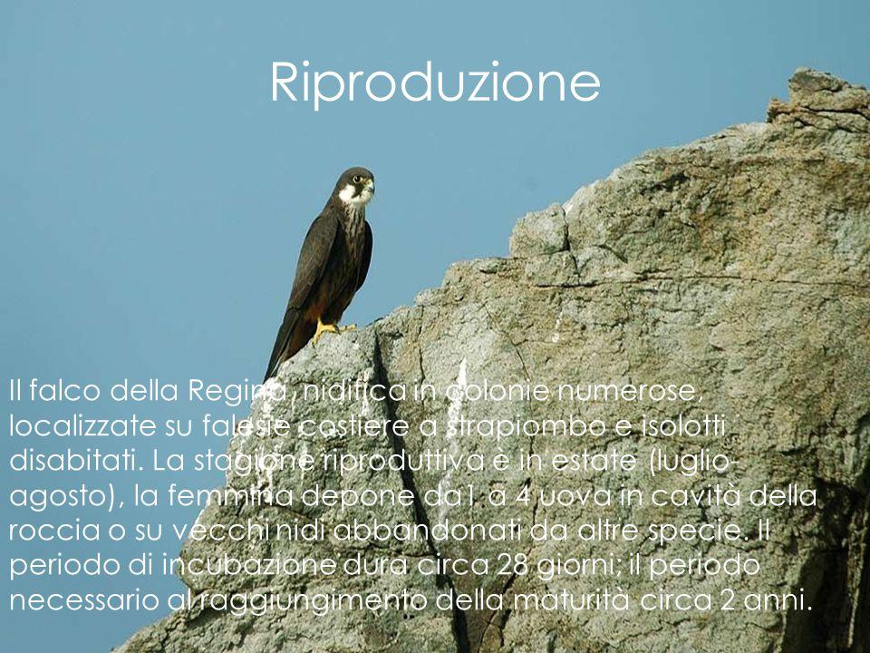 Riproduzione Il falco della Regina nidifica in colonie numerose, localizzate su falesie costiere a strapiombo e isolotti disabitati. La stagione ripro