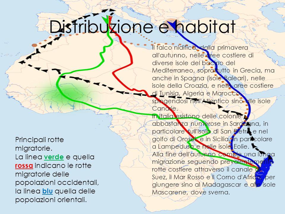 Distribuzione e habitat Principali rotte migratorie. La linea verde e quella rossa indicano le rotte migratorie delle popolazioni occidentali, la line