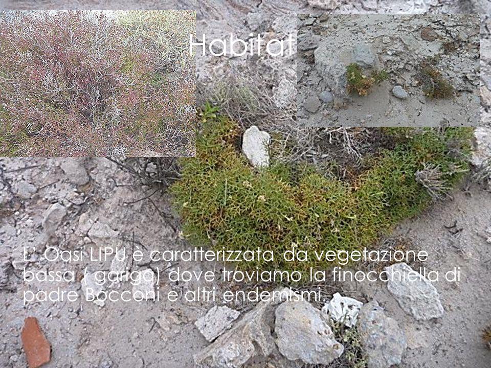 L' Oasi LIPU è caratterizzata da vegetazione bassa ( gariga) dove troviamo la finocchiella di padre Bocconi e altri endemismi. Habitat