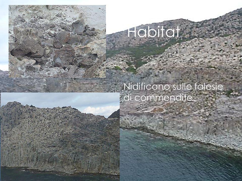 Habitat Nidificano sulle falesie di commendite.