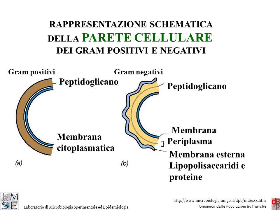 http://www.microbiologia.unige.it/dpb/indexxx.htm Dinamica delle Popolazioni Batteriche Laboratorio di Microbiologia Sperimentale ed Epidemiologia Gra