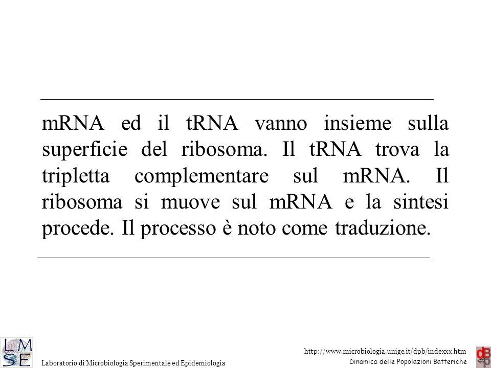 http://www.microbiologia.unige.it/dpb/indexxx.htm Dinamica delle Popolazioni Batteriche Laboratorio di Microbiologia Sperimentale ed Epidemiologia mRN