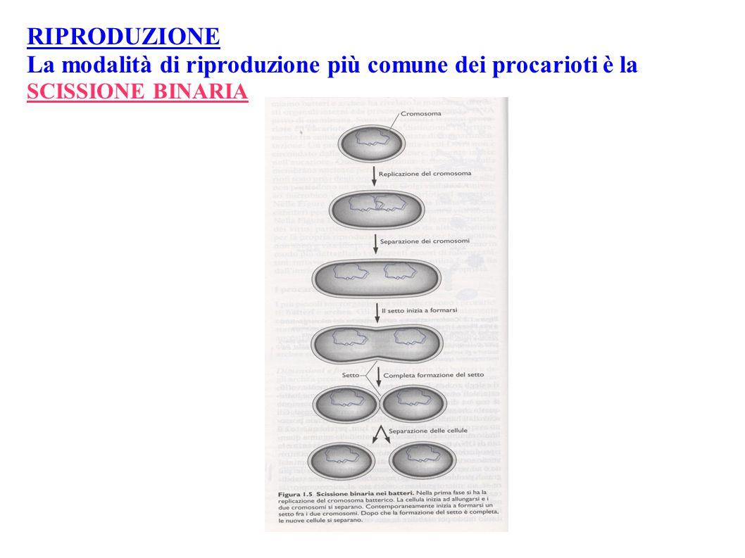 RIPRODUZIONE La modalità di riproduzione più comune dei procarioti è la SCISSIONE BINARIA