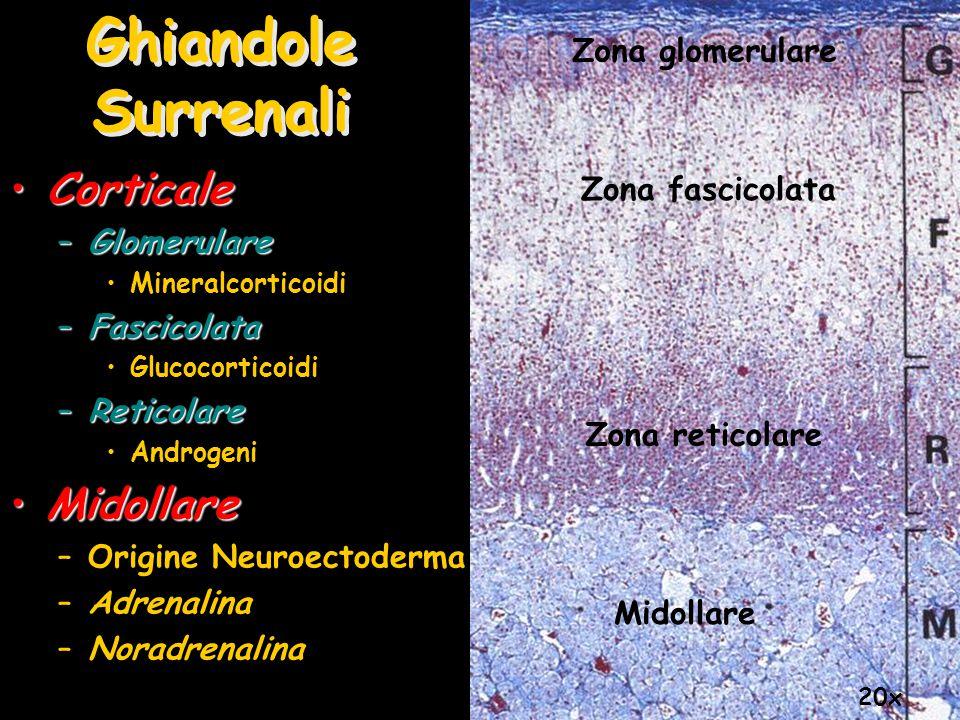 Ghiandole Surrenali CorticaleCorticale –Glomerulare Mineralcorticoidi –Fascicolata Glucocorticoidi –Reticolare Androgeni MidollareMidollare –Origine N
