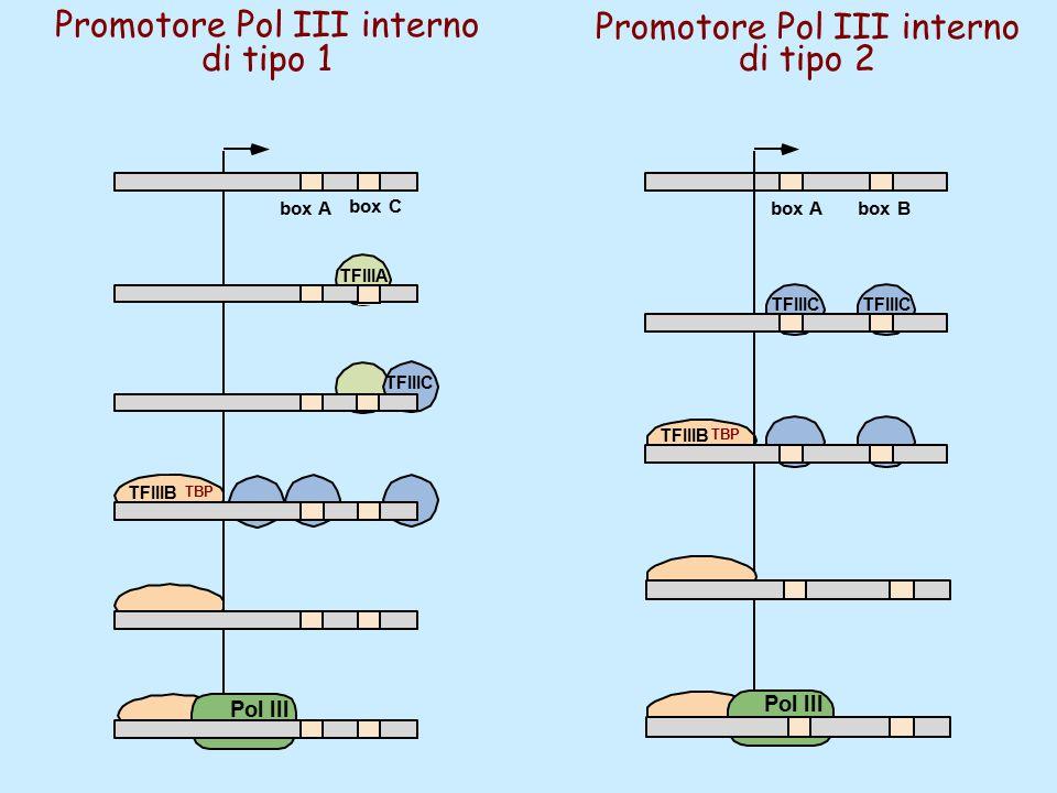Promotore Pol III interno di tipo 1 Promotore Pol III interno di tipo 2 TFIIIC TFIIIA box A box C TFIIIB Pol III TFIIIB TFIIIC box Abox B Pol III TBP