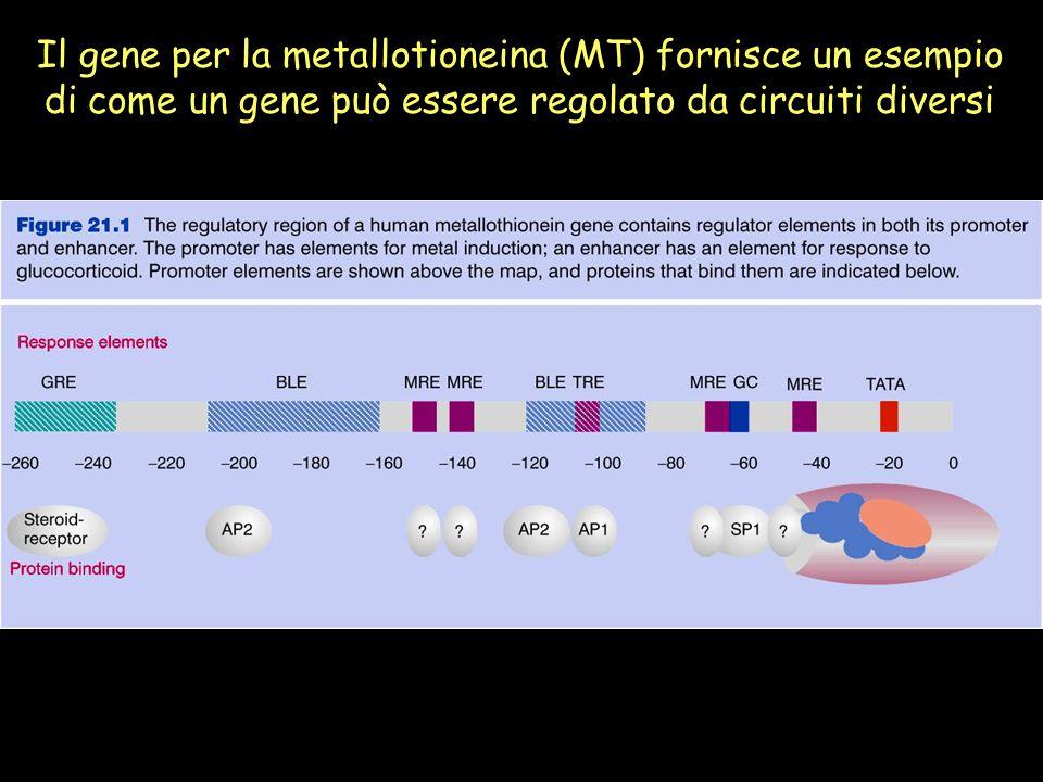 Il gene per la metallotioneina (MT) fornisce un esempio di come un gene può essere regolato da circuiti diversi