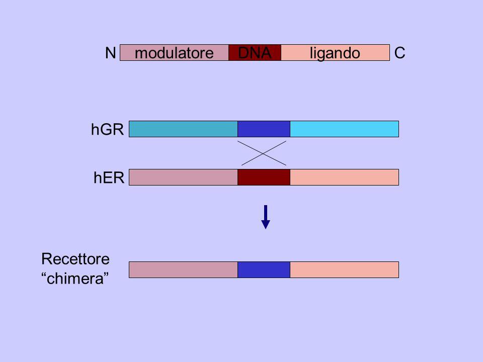 modulatoreDNAligando N C hGR hER Recettore chimera