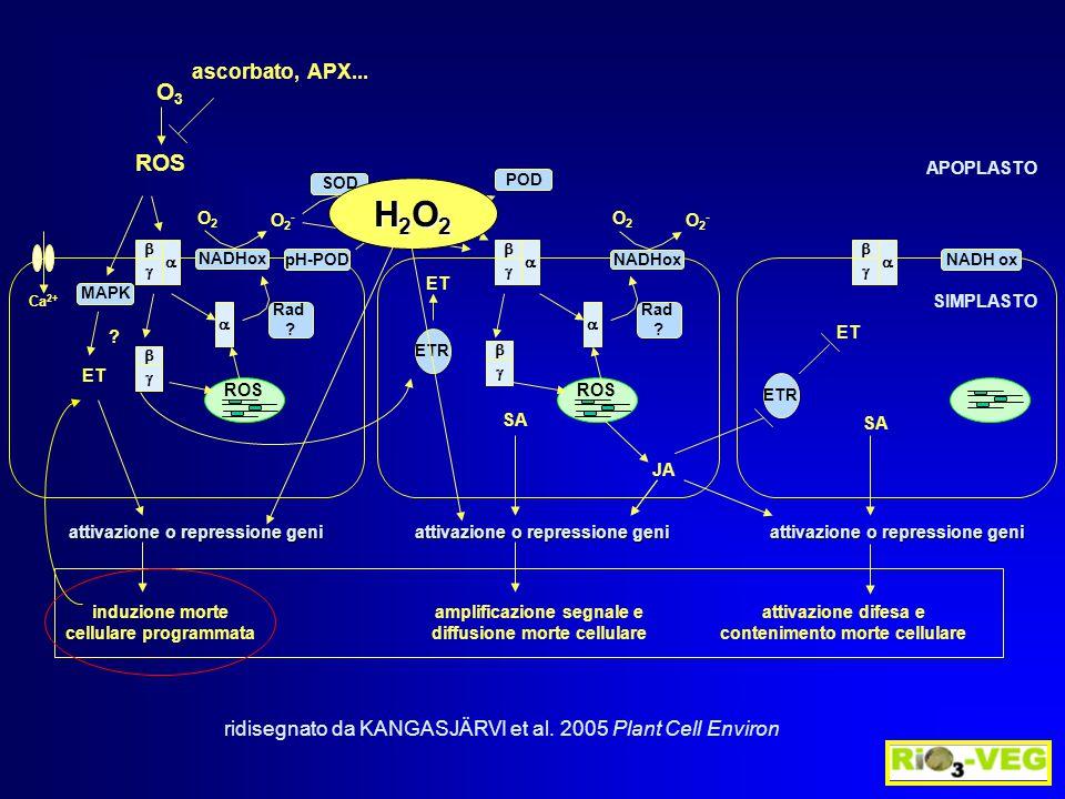 ROS Ca 2+ induzione morte cellulare programmata amplificazione segnale e diffusione morte cellulare attivazione difesa e contenimento morte cellulare O3O3 ascorbato, APX...