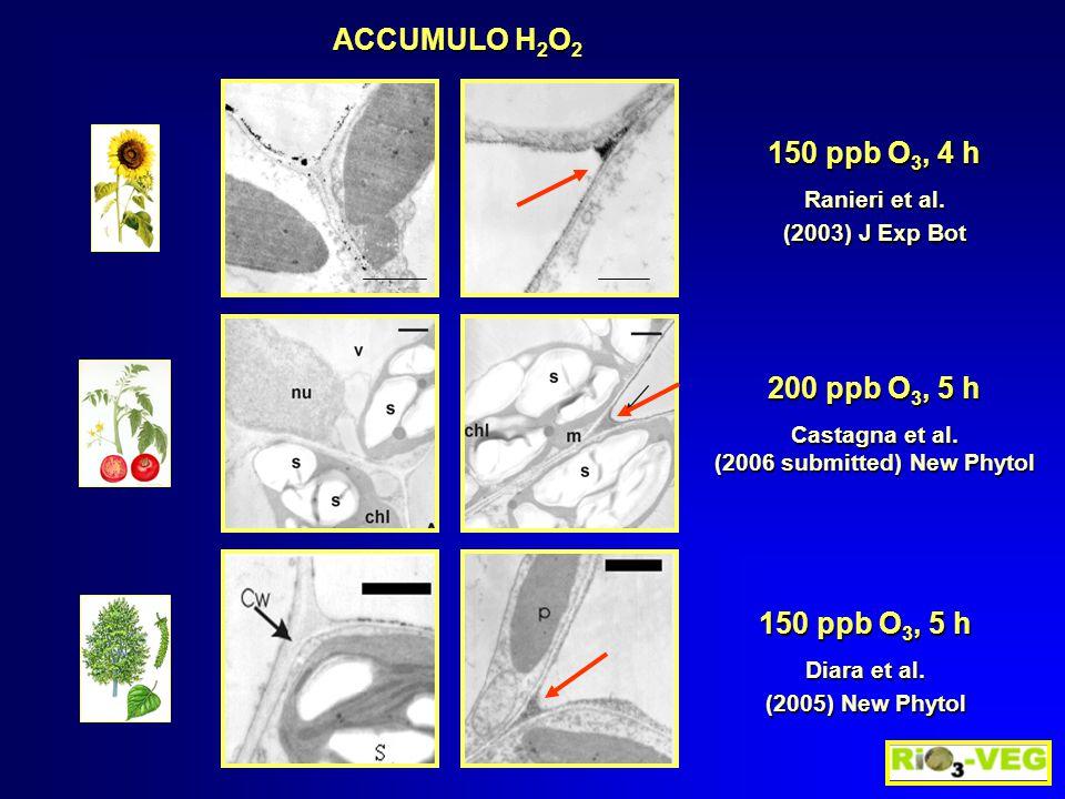 150 ppb O 3, 4 h Ranieri et al. (2003) J Exp Bot ACCUMULO H 2 O 2 200 ppb O 3, 5 h Castagna et al.