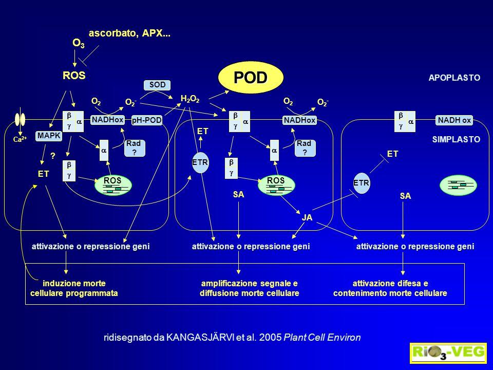 ROS Ca 2+ induzione morte cellulare programmata amplificazione segnale e diffusione morte cellulare attivazione difesa e contenimento morte cellulare O3O3              MAPK ET .