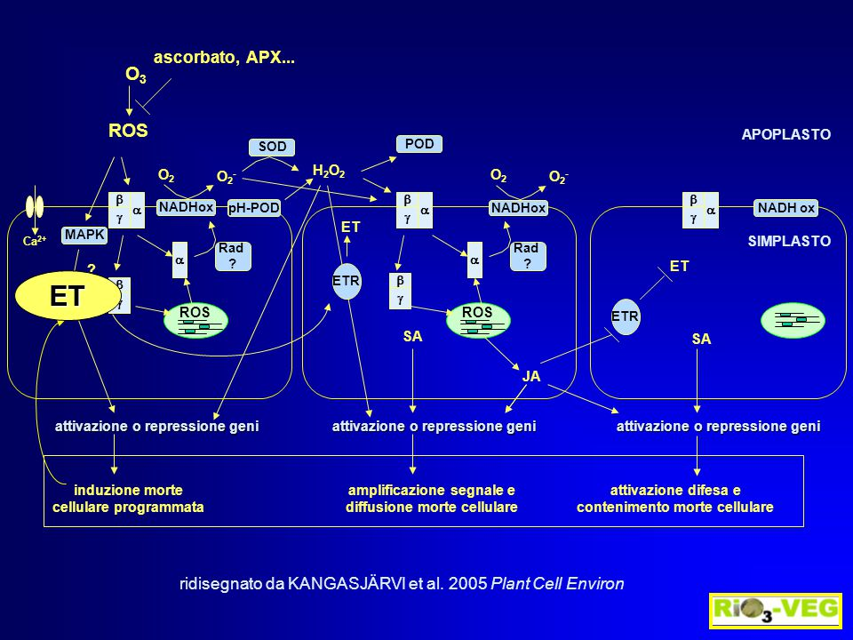 ROS Ca 2+ induzione morte cellulare programmata amplificazione segnale e diffusione morte cellulare attivazione difesa e contenimento morte cellulare