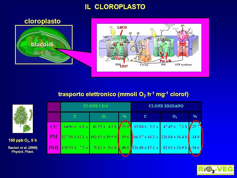 IL CLOROPLASTO Ranieri et al. (2000) Physiol. Plant. 150 ppb O 3, 5 h trasporto elettronico (mmoli O 2 h -1 mg -1 clorof) cloroplasto tilacoidi D1 LHC
