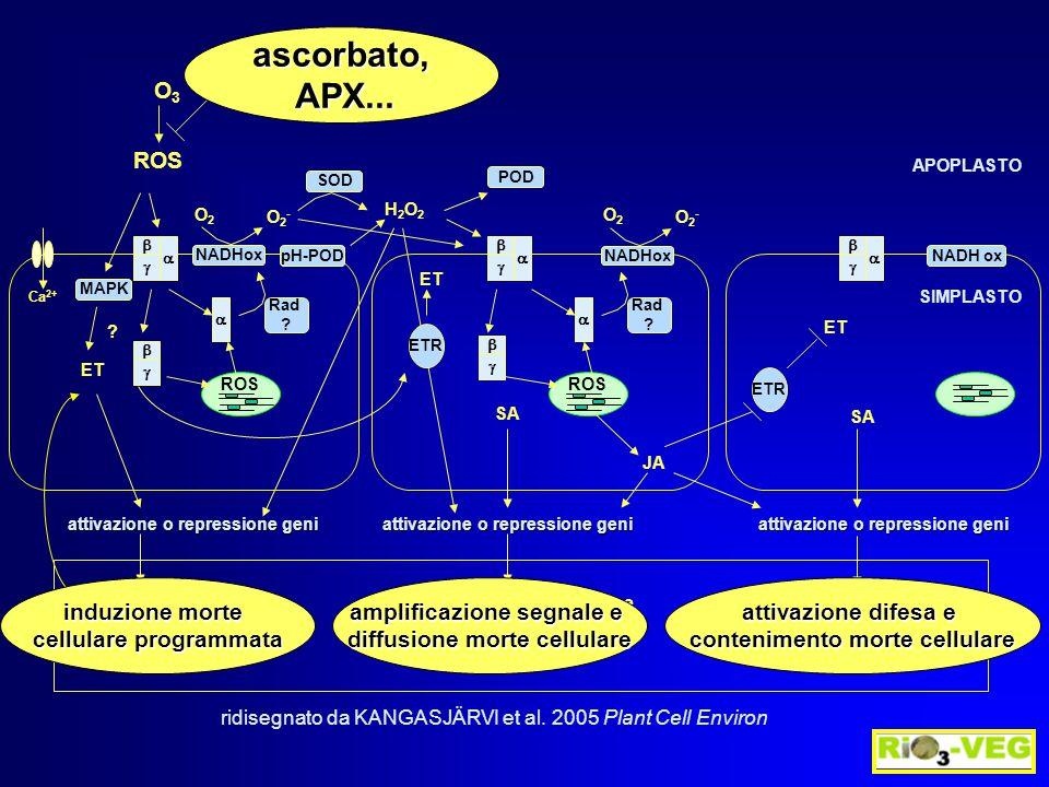 ASA nmoli g -1 pf DHA stato redox % C O3O3O3O3 88  4 b 35  3 b 71  2 a 143  11 a 119  9 a 54  3 b ASA nmoli g -1 pf DHA stato redox % C O3O3O3O3 3.5  0.1 b 0.3  0.02 b 92  3 a 10.8  0.1 a 13.3  0.2 a 45  4 b C O3O3O3O3 6.3  0.3 b 0.8  0.01 b 88  3 a 23.3  0.1 a 96  0.6 a 19  5 b I-214 Eridano ACIDO ASCORBICO APOPLASTO 150 ppb O 3, 4 h, 4 g 150 ppb O 3, 5 h Ranieri et al.