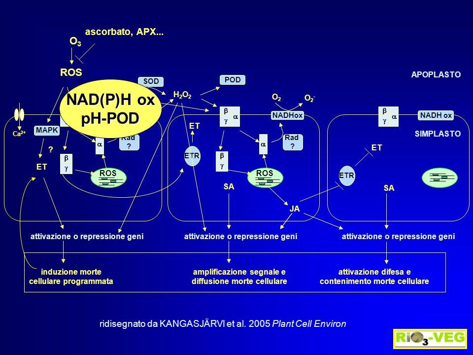 * * *  moli NAD(P)H min -1 m g -1 prot NAD(P)H POD IWF ATTIVAZIONE ENZIMI GENERANTI H 2 O 2 Ranieri et al.