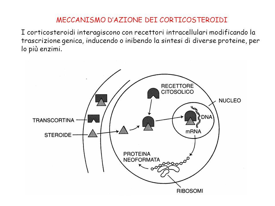 MECCANISMO D'AZIONE DEI CORTICOSTEROIDI I corticosteroidi interagiscono con recettori intracellulari modificando la trascrizione genica, inducendo o i