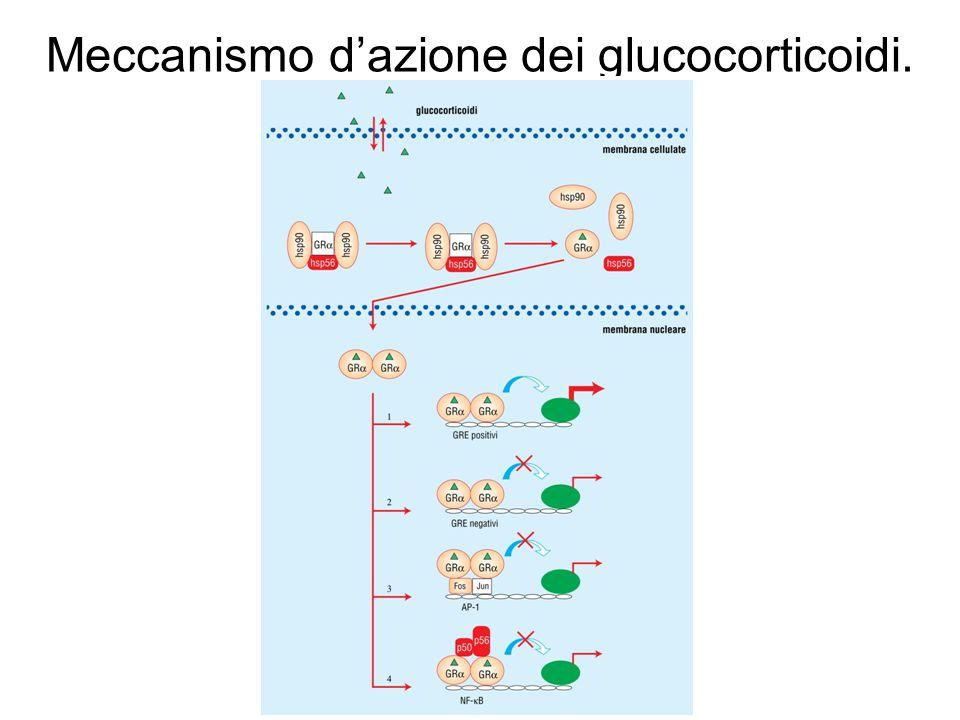 Meccanismo d'azione dei glucocorticoidi.