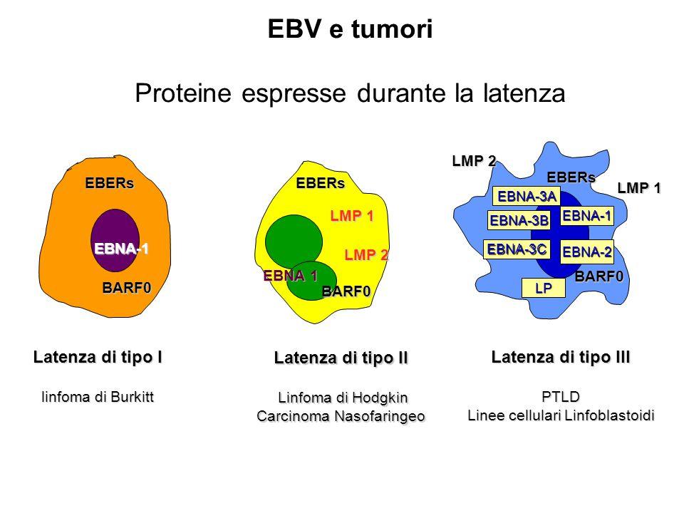 Latenza di tipo II Linfoma di Hodgkin Linfoma di Hodgkin Carcinoma Nasofaringeo Latenza di tipo III PTLD Linee cellulari Linfoblastoidi EBNA-1 LMP 1 LMP 2 EBNA 1 EBNA 1 LMP 1 LMP 1 LMP 2 EBNA-1 EBNA-2 EBNA-3A EBNA-3B EBNA-3C LP Latenza di tipo I linfoma di Burkitt linfoma di Burkitt EBERsEBERsEBERs BARF0 BARF0BARF0 EBV e tumori Proteine espresse durante la latenza