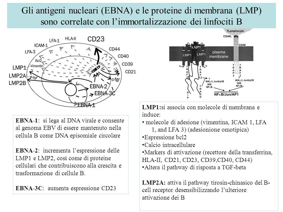 Gli antigeni nucleari (EBNA) e le proteine di membrana (LMP) sono correlate con l'immortalizzazione dei linfociti B EBNA-1: si lega al DNA virale e consente al genoma EBV di essere mantenuto nella cellula B come DNA episomiale circolare EBNA-2: incrementa l'espressione delle LMP1 e LMP2, così come di proteine cellulari che contribuiscono alla crescita e trasformazione di cellule B.