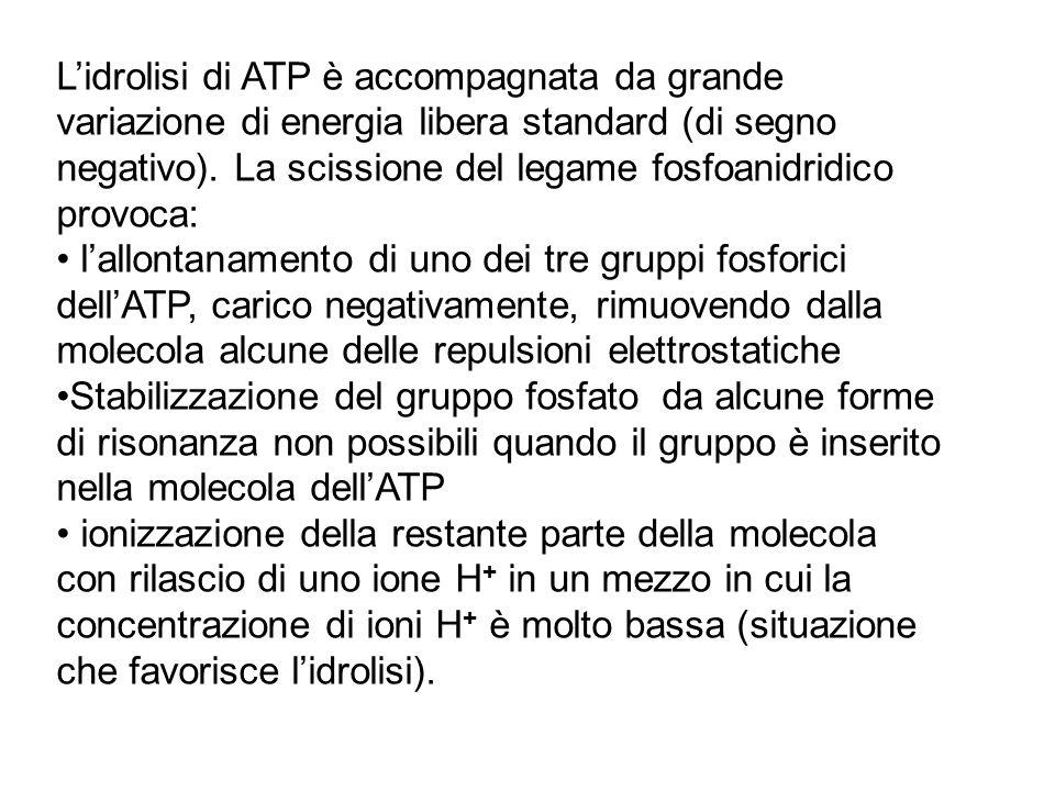 L'idrolisi di ATP è accompagnata da grande variazione di energia libera standard (di segno negativo). La scissione del legame fosfoanidridico provoca: