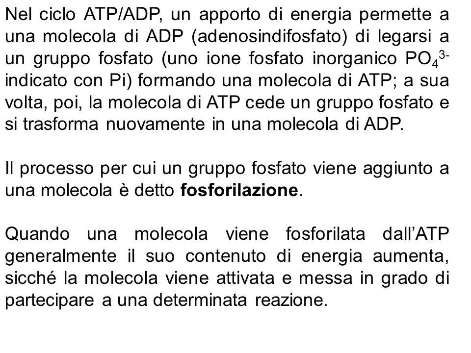 Nel ciclo ATP/ADP, un apporto di energia permette a una molecola di ADP (adenosindifosfato) di legarsi a un gruppo fosfato (uno ione fosfato inorganic