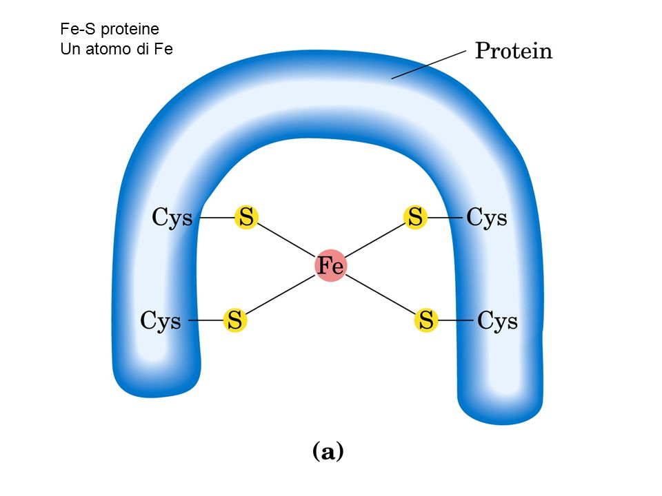Fe-S proteine Un atomo di Fe