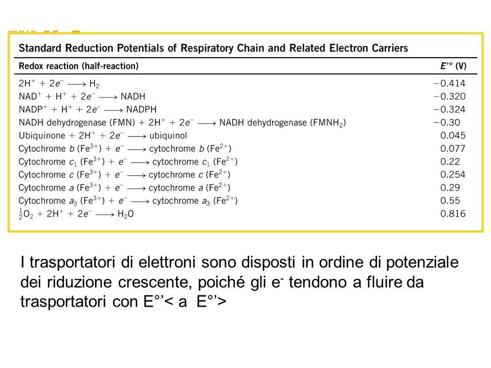 I trasportatori di elettroni sono disposti in ordine di potenziale dei riduzione crescente, poiché gli e - tendono a fluire da trasportatori con E°'