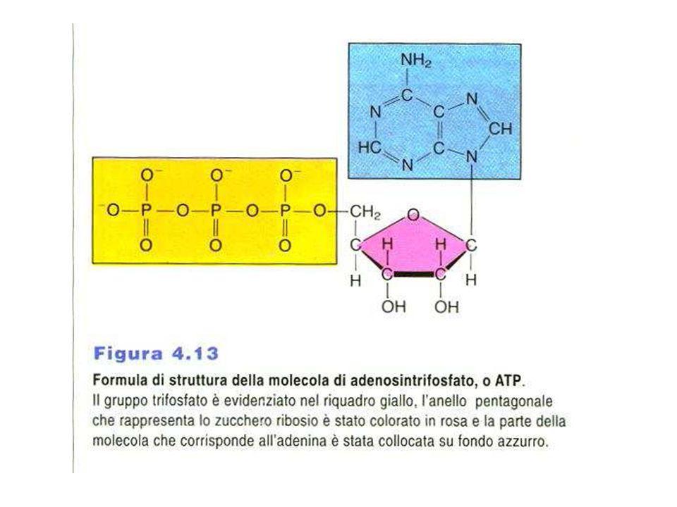 Trasferiscono 2 e - e 2 H + NADH prodotto nelle reazioni cataboliche NADPH usato nelle reazioni anaboliche, si spostano entrambi rapidamente da un enzima all'altro