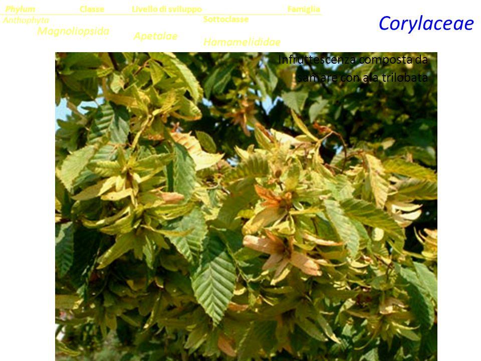 Corylaceae Sottoclasse ClassePhylumFamiglia Anthophyta Magnoliopsida Hamamelididae Livello di sviluppo Apetalae Infruttescenza composta da samare con