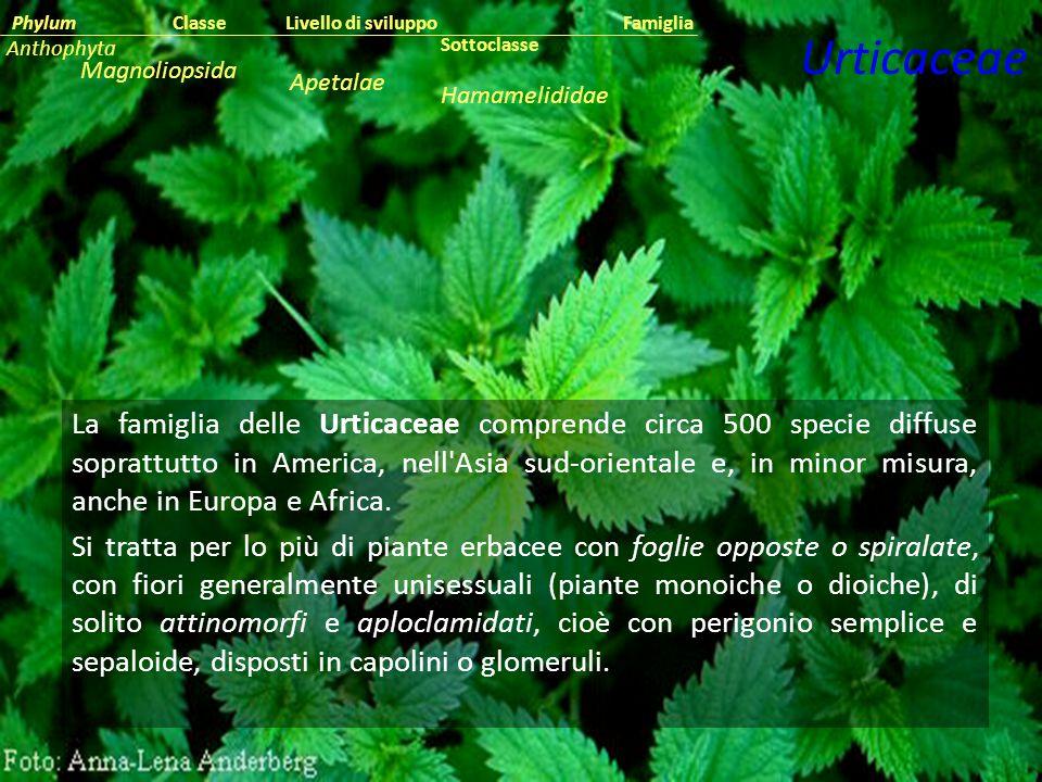 La famiglia delle Urticaceae comprende circa 500 specie diffuse soprattutto in America, nell'Asia sud-orientale e, in minor misura, anche in Europa e