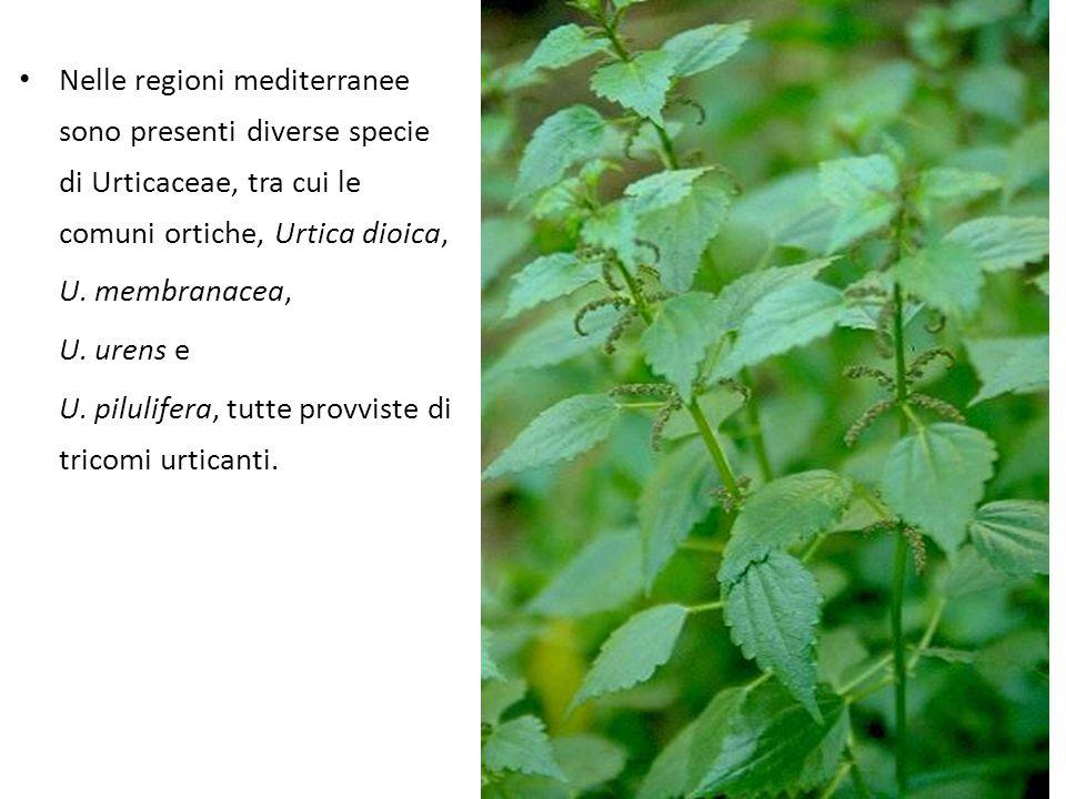 Nelle regioni mediterranee sono presenti diverse specie di Urticaceae, tra cui le comuni ortiche, Urtica dioica, U. membranacea, U. urens e U. pilulif