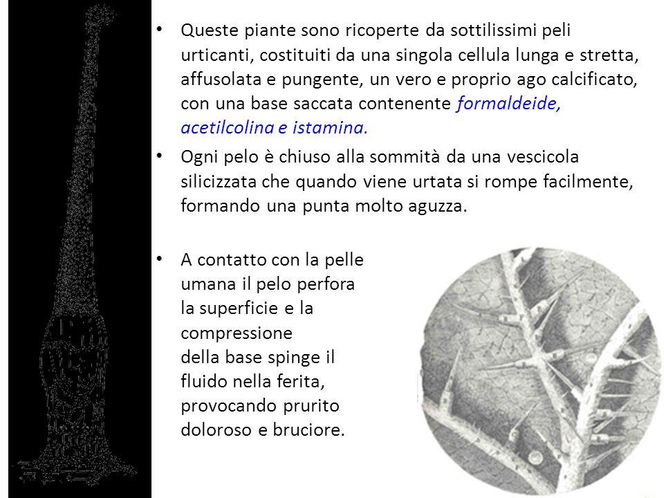 Queste piante sono ricoperte da sottilissimi peli urticanti, costituiti da una singola cellula lunga e stretta, affusolata e pungente, un vero e propr