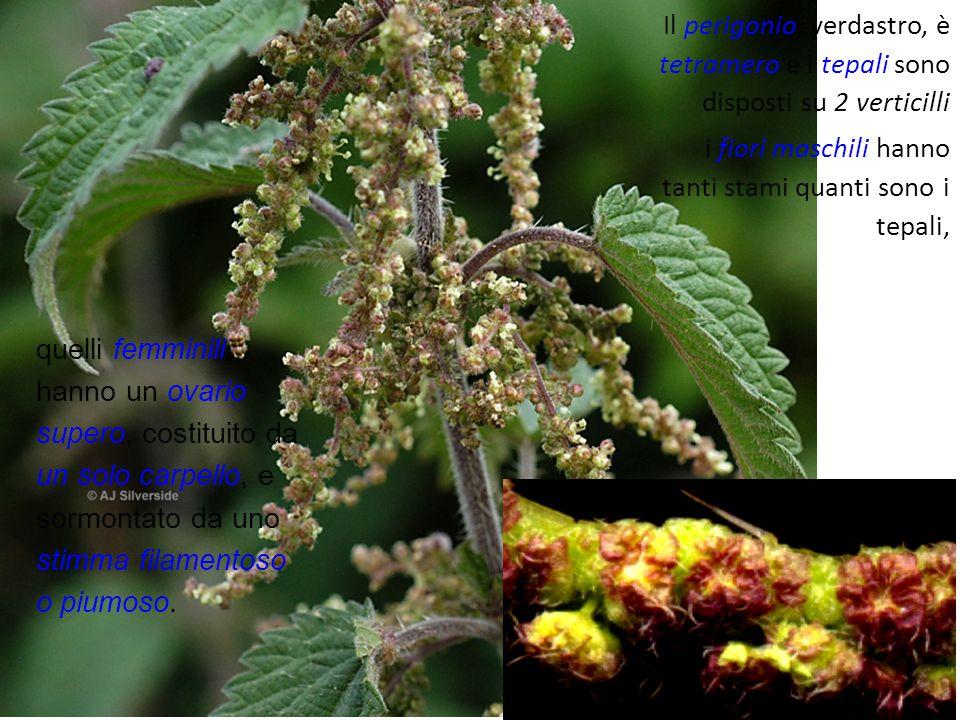 Il perigonio, verdastro, è tetramero e i tepali sono disposti su 2 verticilli i fiori maschili hanno tanti stami quanti sono i tepali, quelli femminil
