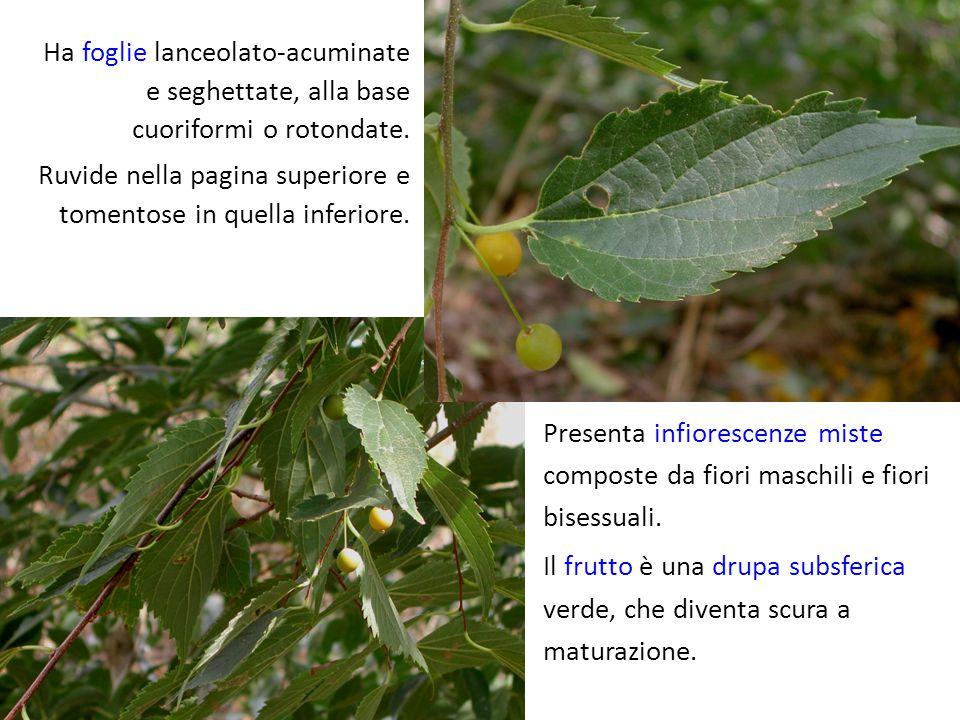 Presenta infiorescenze miste composte da fiori maschili e fiori bisessuali. Il frutto è una drupa subsferica verde, che diventa scura a maturazione. H