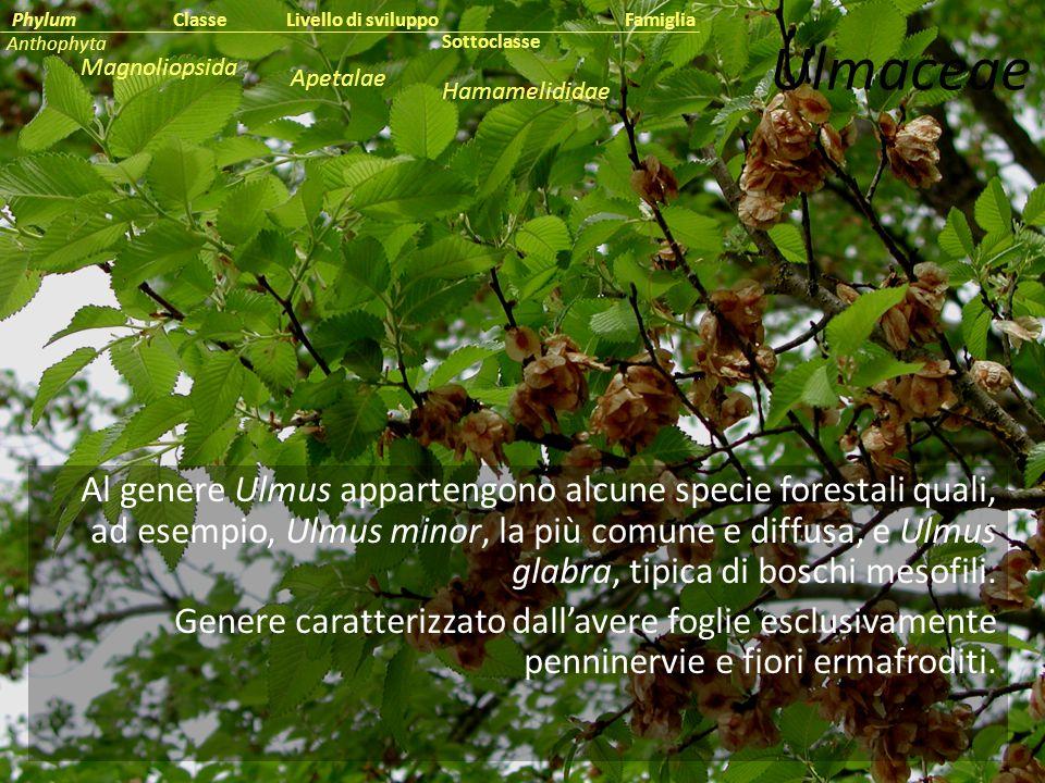 Al genere Ulmus appartengono alcune specie forestali quali, ad esempio, Ulmus minor, la più comune e diffusa, e Ulmus glabra, tipica di boschi mesofil