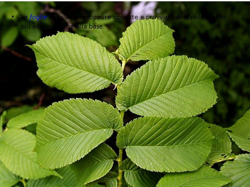 Le foglie sono alterne oppure opposte e provviste di stipole, per lo più asimmetriche alla base.