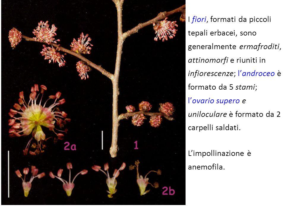 I fiori, formati da piccoli tepali erbacei, sono generalmente ermafroditi, attinomorfi e riuniti in infiorescenze; l'androceo è formato da 5 stami; l'